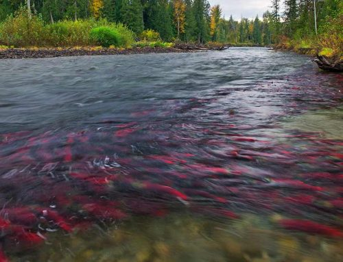 Where to See Salmon Spawning