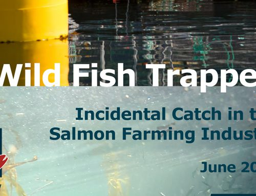 New Report: Federal government turning a blind eye to wild fish kills on salmon farms