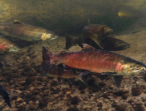 Watch Fernando Lessa's Urban Salmon documentary