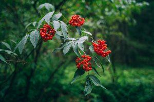 Red Elderflower