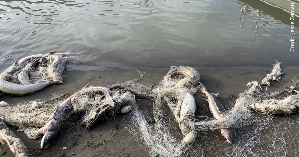 Dead fish in nets on the beach