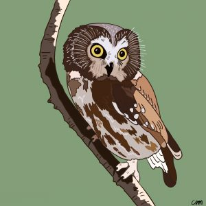 Illustration of a Northern Saw-Whet Owl.