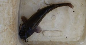 Brown Catfish